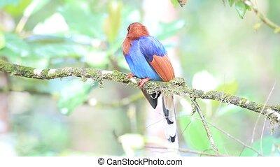 Ceylon Blue Magpie - Sri Lanka or Ceylon Blue Magpie...