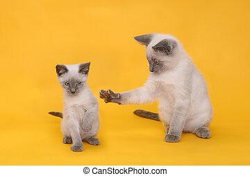 暹羅, 明亮, 背景, 鮮艷, 小貓