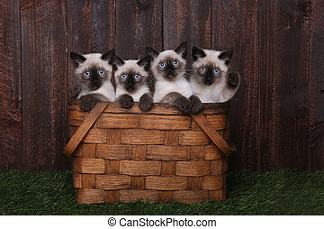 Adorable Siamese Kittens in A Basket - Multiple Adorable...