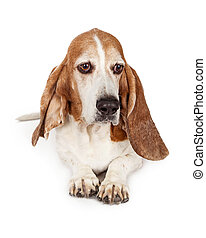 Sad Basset Hound Dog Laying