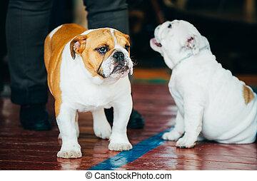 Close Up Young Brown And White English Bulldog Dog