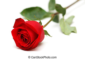 Red rose isolated on the white background - Red rose...