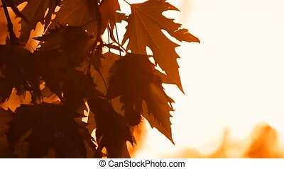 Autumn Leaves Sycamore