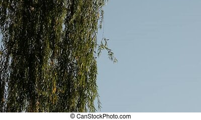 Weeping Willow Tree On A Background Of Blue Sky - The Leaves...