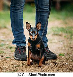 Tan Dog Miniature Pinscher, Zwergpinscher, Min Pin - Small...