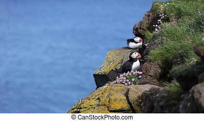 Puffins at the Latrabjarg peninsula in the northern Iceland