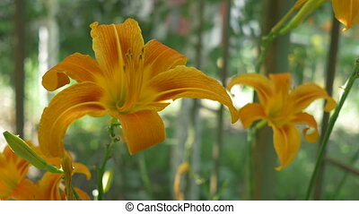 Two Lilies in Bloom - Changing focus along two orange lilies...