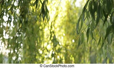 Weeping Willow Tree In The Park - The branches of a weeping...