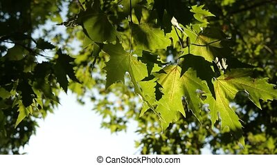 Leaves Of Sycamore Outdoor. - Green leaves of sycamore as...