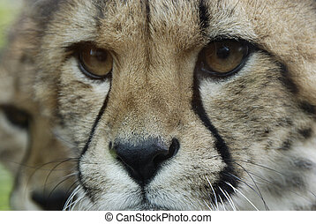 cheetah face acinonyx jubatus - An extreme closeup of a...