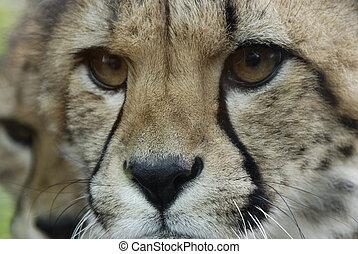 cheetah face (acinonyx jubatus) - An extreme closeup of a...