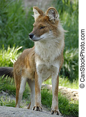 dhole cuon alpinus - Asiatic Wild Dog standing at attention...