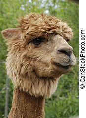 ALPACA HEAD SHOT - A Portrait shot of an alpacas head and...