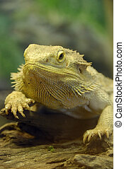 BEARDED DRAGON - Bearded Dragon portrait sitting on wood