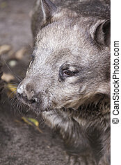 Hairy nosed wombat - A hairy nosed wombat enjoying his day...