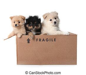 Adorable Pomeranian Puppies in a Cardboard Box