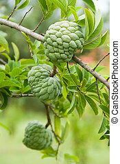 Custard apples growing on a tree
