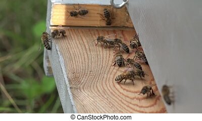 bees coming and going - entrance to the hive and bees coming...