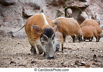red river hog - The red river hog also known as the bush...