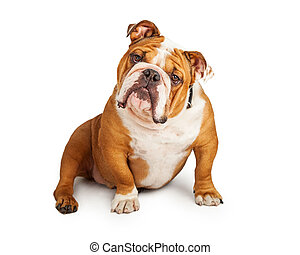 Inquisitive English Bulldog Sitting At An Angle