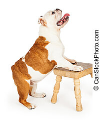 English Bulldog Standing With Front Legs On A Wooden Stool -...