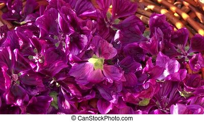 hand harvest of purple flowers one by one
