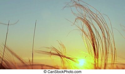Feather Grass At Sunset
