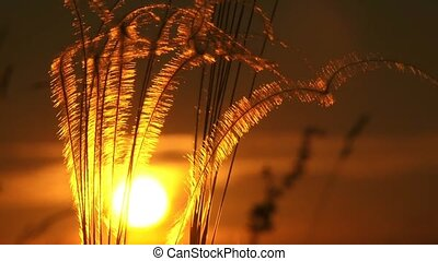 Evening Sun And Golden Feather - Stipa pennata in wind at...