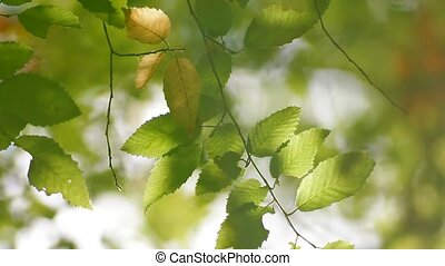 Leaves Of Corylus Bushes