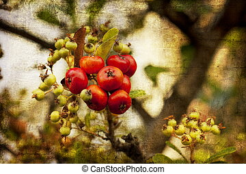 Shrub with lots of red berries on branches, autumn harvest...
