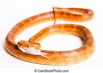 Corn Snake - North American rat or corn snake with mouth...