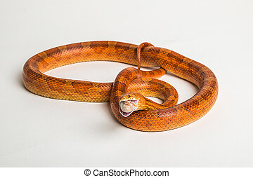 Corn snake - Coiled corn snake on a white studio background