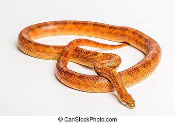 Corn snake - The corn snake is a North American species of...
