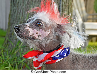 patriotic Chinese Crested hairless - Chinese Crested...