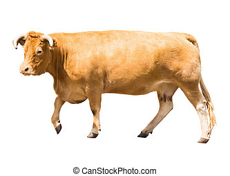 Cow, isolated over white background