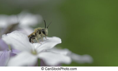 Small bee on wildflower perennial honesty, spring - Close-up...