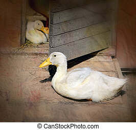Beautiful ducks on a farm photographed close up