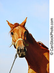 Portrait of a horse - Portrait of a brown horse standing in...