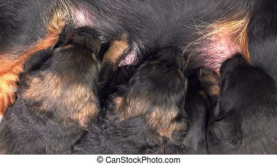 Cute Puppies Breastfeed - Cute Little Puppies Breastfeed,...