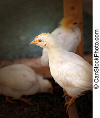 fluffy chickens - Photo beautiful fluffy chickens on a farm