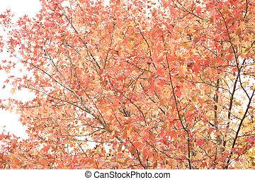 Autumn sweetgum tree - Autumn bright color sweetgum tree...