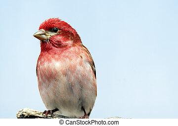 Perched male purple finch
