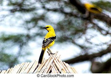 Yellow Oriole in the caribbean, Curacao