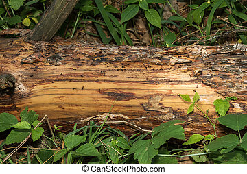 The trail of ants on a log - The trail is lined by fallen...