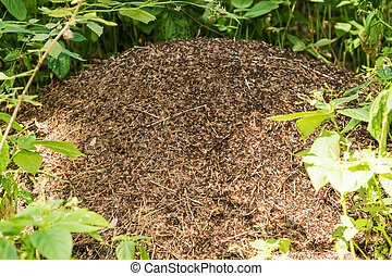 Big anthill with colony of ants - Big anthill in a...