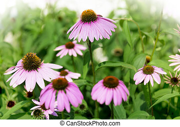 Purple Coneflowers - Photo of blooming purple coneflowers in...