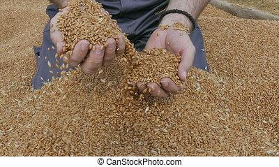 Agriculture, wheat harvest, farmer
