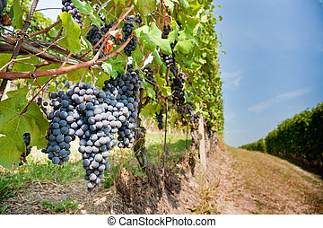 Red grapes in a vineyards