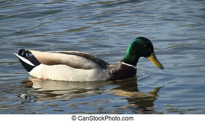 Mallard Duck Swimming - Mallard Duck swimming.