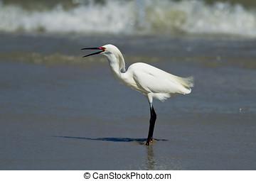 Egret with its beak open.